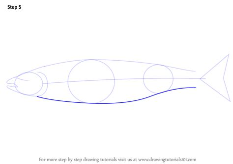 learn   draw  atlantic salmon fishes step  step