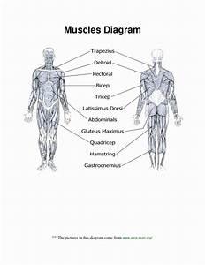 Muscle Anatomy Chart Luxury Muscle Anatomy Worksheet Human