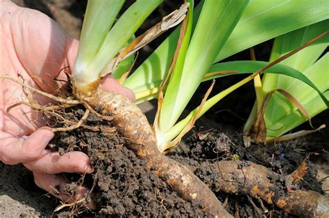 propagate irises by dividing gardenersworld