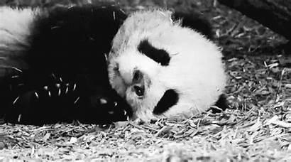 Gigante Panda Animate Gifmania Immagini