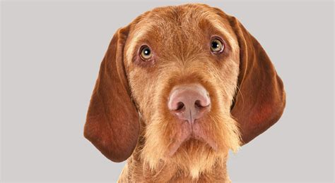 do vizsla puppies shed wirehaired vizsla breed information american kennel club