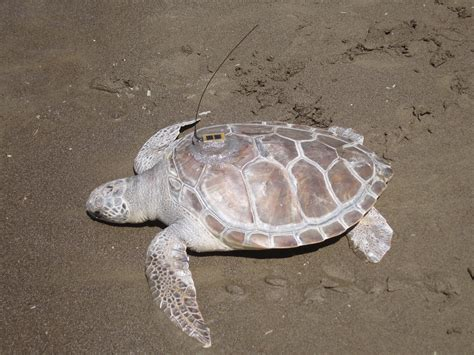 Identifying Sea Turtle Species