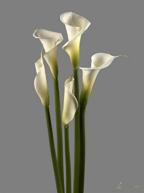 white calla flower bulk white calla lilies fresh cut calla lilies from calcallas com