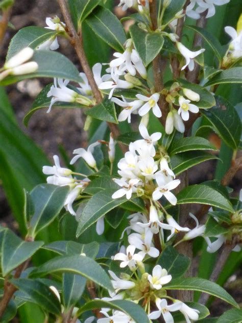 Fabulous Spring Fragrance  Osmanthus X Burkwoodii  And A