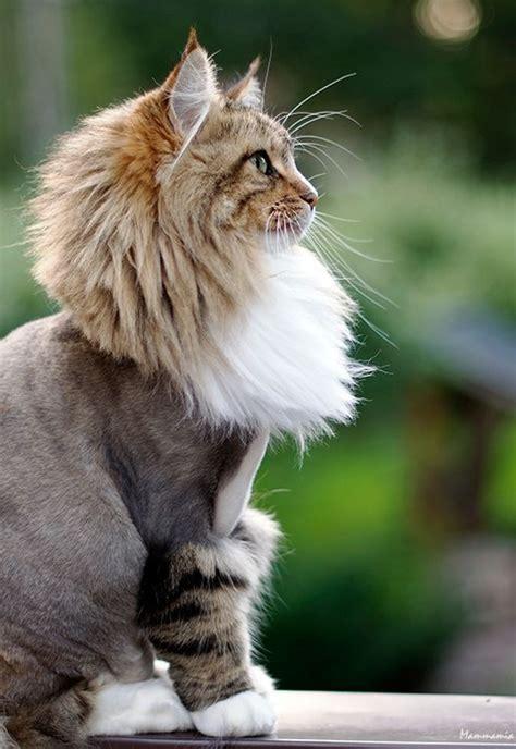 top strange  unique cat haircuts cats  care
