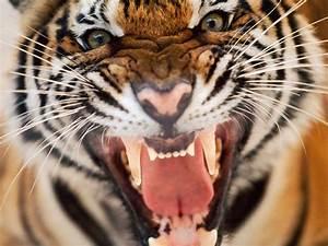 Tiger Animal, Free Stock Photos - Free Stock Photos