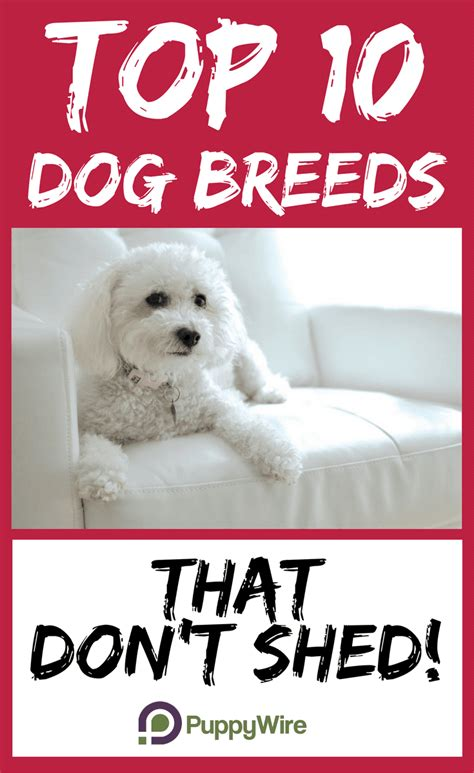 Best For That Don T Shed - top 10 breeds that don t shed puppywire