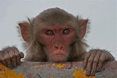 Monkeys Study Math Rhesus Macaque Medical Human