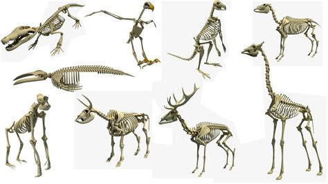 animal skeleton  models youtube