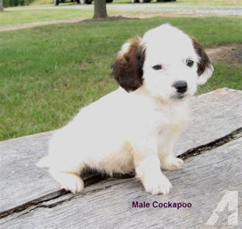 maltipoo cockapoo toy poodle pups  sale  gold hill