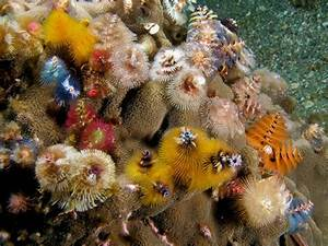 The Christmas Tree Worm, Decorating Coral Reefs Year-Round ...