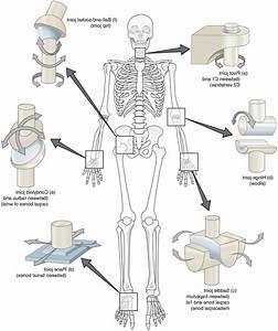 Saddle Joints In The Body    Humanbodyanatomyedu Com