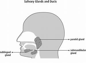 The Salivary Glands