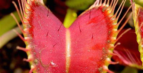 venus flytrap smarts california academy  sciences