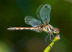 Are dragonflies the fastest insect in the world ...