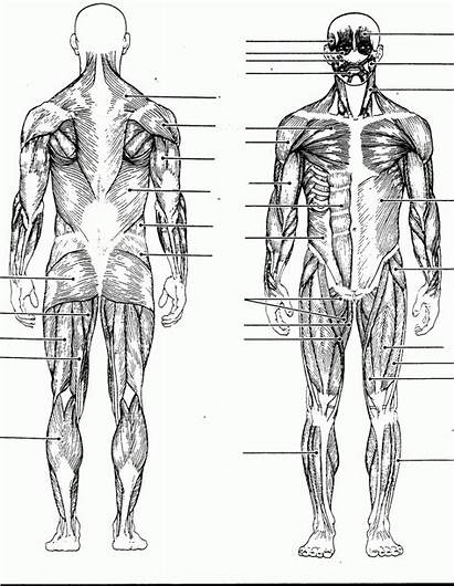 Muscles Human Diagram Muscle Muscular System Anatomy