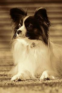 top 10 small dog breeds in the world