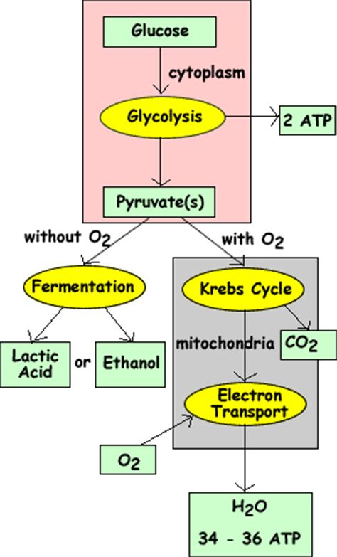 cellular respiration ch  biology pcb  davis