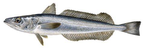 comment cuisiner le carrelet merlu marine stewardship council