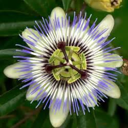 Description Passion Flower Osaka.jpg Passion Flower