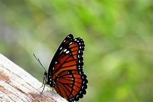 Viceroy Butterfly Side View by Rosalie Scanlon