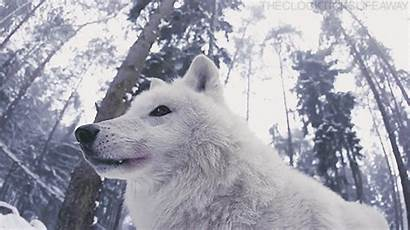 Wild Gifs Wolf Wolves Winter