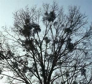 Mistletoe in Trees - LSU AgCenter