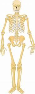 Skeleton Clip Art At Clker Com