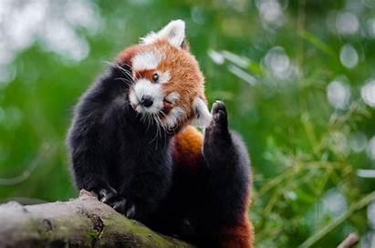 Pandas Animals Pexels Source