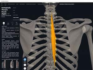 Muscles  Semispinalis   U2013 Anatomy  U0026 Physiology