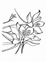 Columbine Coloring Pages Flowers Flower Printable Recommended sketch template