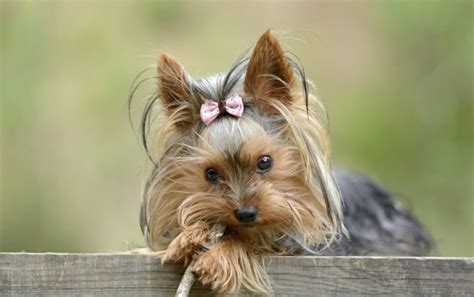 teacup yorkie shedding how many puppies does a teacup yorkie care