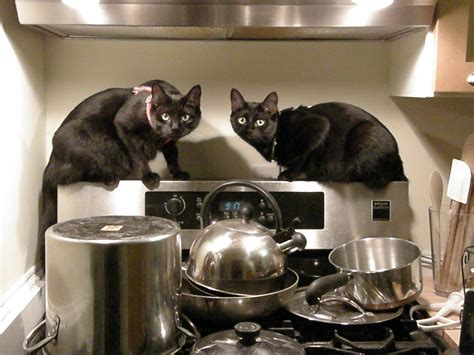 cats cooking moxie  mina    stay