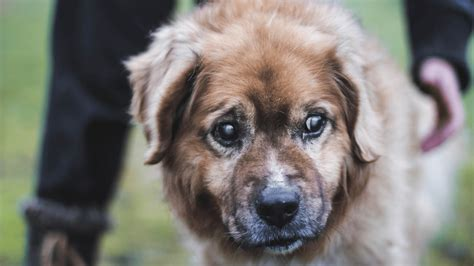 blindness in dogs cataracts in dogs stages causes treatments and more