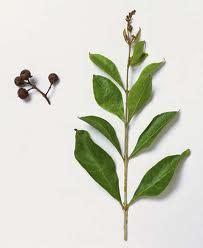 pacar kuku ciri ciri tanaman  khasiat