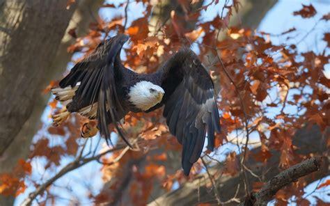 Fall Animal Wallpaper - animals birds eagle fall flying wallpapers hd