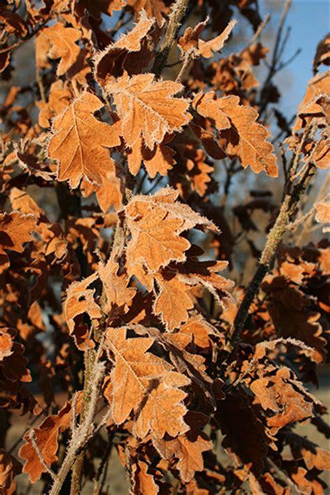 skinny genes columnar oak glover nursery