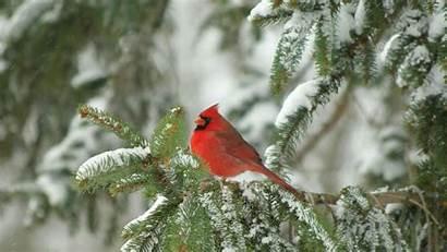 Cardinal Christmas Winter Happy Bird Desktop Merry