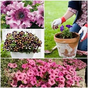 Petunien Samen Kaufen : die besten 17 ideen zu petunien auf pinterest outdoor ~ Michelbontemps.com Haus und Dekorationen