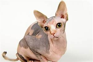 40 Amazing Hairless Sphynx Cat Pictures - Tail and Fur