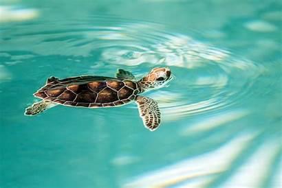 Turtle Endangered Ocean Maui Center Water Hawaii