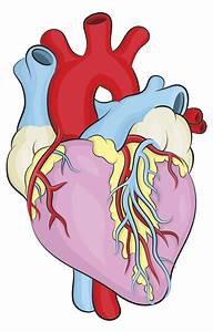 Learn how to draw a heart - based on the real-life human ...