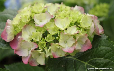 what is a hydrangea flower hydrangea flower pictures hortensia flower pictures