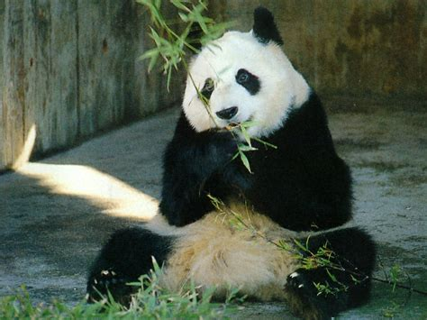 Panda Lovely And Sweet Wild Animal Fact And Pictures