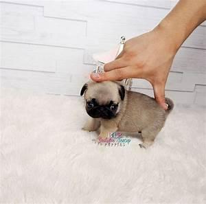 mini pug, micro pug, teacup pug, teacup pug puppies for ...
