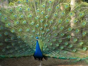 peacock assignment- science - ThingLink
