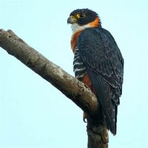 Orange-breasted falcon - Wikipedia  Falcon