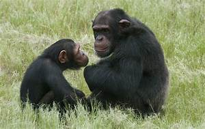 Whatever happened to the great apes of Europe? - LA Times