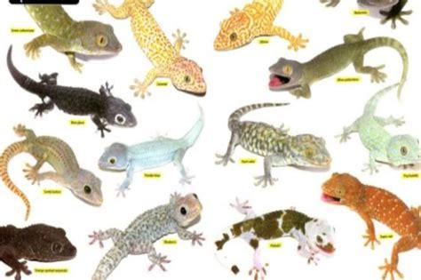leopard gecko colors leopard gecko morphs leopard gecko
