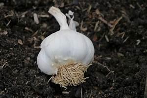 Culture De L Ail : culture de l 39 ail comment planter et entretenir vos ails ~ Melissatoandfro.com Idées de Décoration
